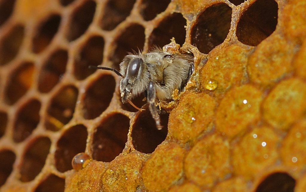 Celdilla de las colmenas de abejas